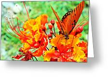 Gulf Fritillary Butterfly On Pride Of Barbados Greeting Card