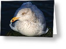Gull Resting Greeting Card