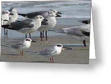 Gulls And Terns Greeting Card