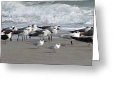 Gulls Terns Skimmers Greeting Card