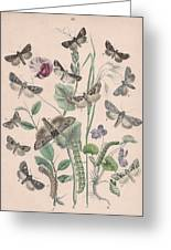 Hadenidae - Xylinidae Greeting Card