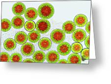 Haematococcus Algae Greeting Card