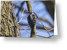 Hairy Woodpecker - Female Greeting Card
