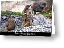 Hamadryas Baboon Greeting Card