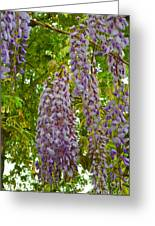 Hanging Wisteria Blossoms Greeting Card