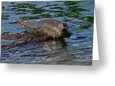 Harbor Seal At Low Tide Greeting Card