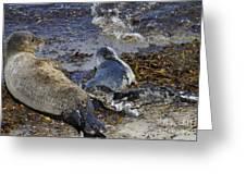 Harbor Seal Nursing Greeting Card