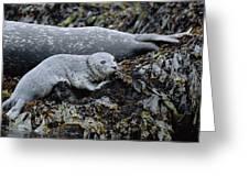 Harbor Seal Pup Resting Greeting Card