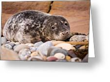 Harbour Seal Close Up Greeting Card