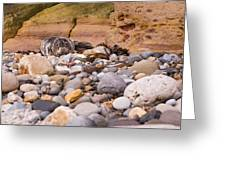 Harbour Seal On Pebble Beach Greeting Card