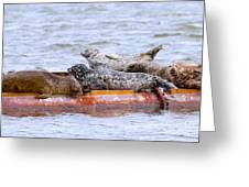 Harbour Seals Lounging Greeting Card