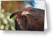 Harris Hawk Greeting Card