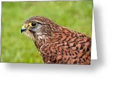 Harris Hawk In Profile Greeting Card