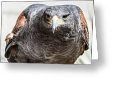 Harris Hawk Ready For Attack Greeting Card
