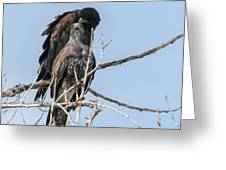 Harris Hawks Greeting Card