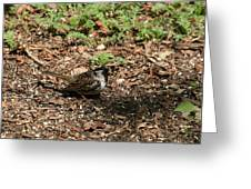 Harris Sparrow Collecting Seeds Greeting Card