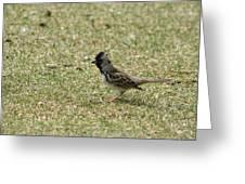 Harris Sparrow On Grass Greeting Card