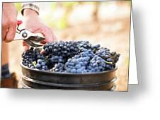 Harvest At Vineyard In Santa Cruz Greeting Card