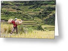Harvest Season In Rice Field Greeting Card