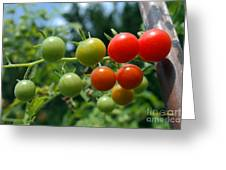 Harvest Tomatoes Greeting Card