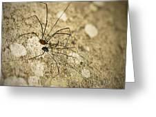 Harvestman Spider Greeting Card