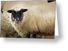 Have You Any Wool? Greeting Card