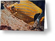 Hawaiian Butterfly Fish Greeting Card