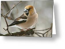 Hawfinch Greeting Card