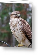 Hawk 001 Greeting Card