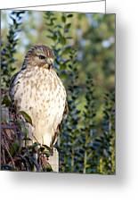 Hawk 002 Greeting Card