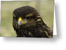 Hawk 1 Greeting Card