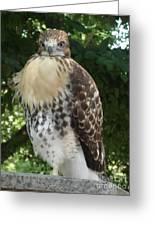 Hawk 2 Greeting Card