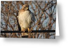 Hawk #21 Greeting Card