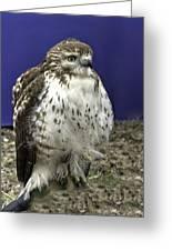 Hawk 3 Greeting Card