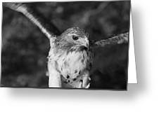 Hawk Attack Black And White Greeting Card