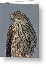 Hawk Beauty On The Lookout Greeting Card