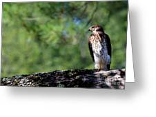 Hawk In Tree Greeting Card