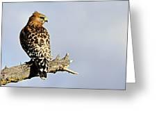 Hawk Looking Back Greeting Card