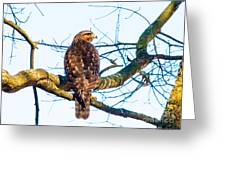 Hawk Love Greeting Card