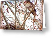 Hawk Nesting IIi Greeting Card