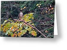 Hawk On A Limb Greeting Card