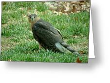 Hawk On The Grass Greeting Card