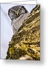Hawk Owl Pictures 8 Greeting Card