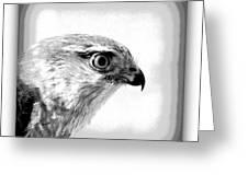 Hawk - Raptor Greeting Card