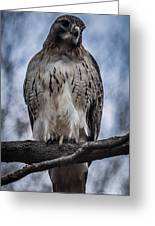 Hawk Red Tailed Greeting Card