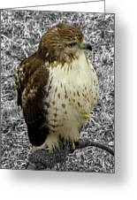 Hawk V3c Greeting Card