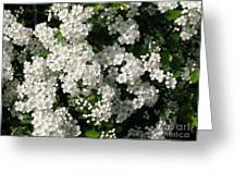 Hawthorn In Bloom Greeting Card