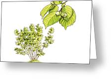 Hazel (corylus Avellana) Tree, Artwork Greeting Card