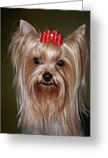 Headshot Of Show Yorkshire Terrier Greeting Card