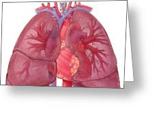 Heart Illustration, With Pulmonary Veins Greeting Card